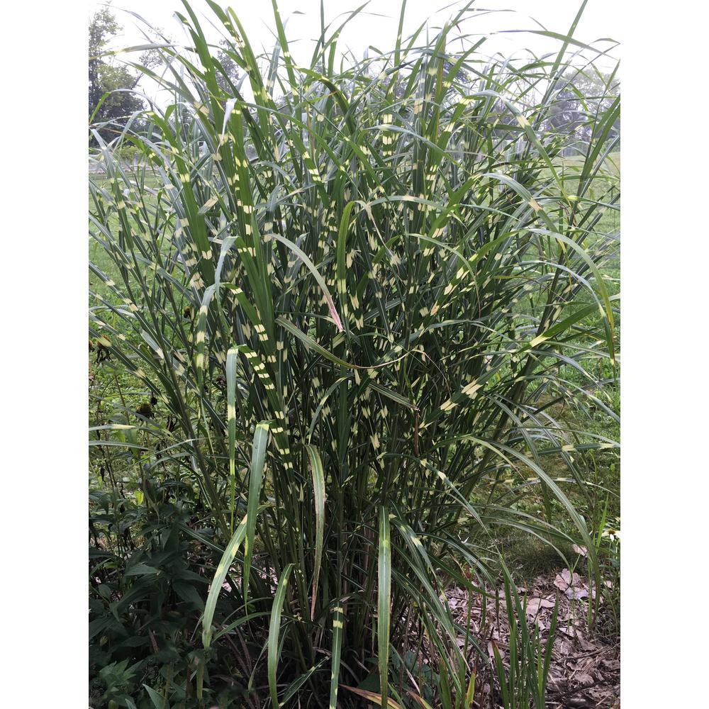 2 In. Pot Zebra Grass (Miscanthus) Live Perennial Plant (1-Pack)