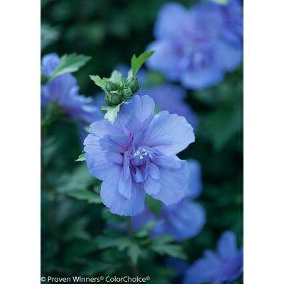 3 Gal. Blue Chiffon Rose of Sharon (Hibiscus) Live Shrub, Blue Flowers