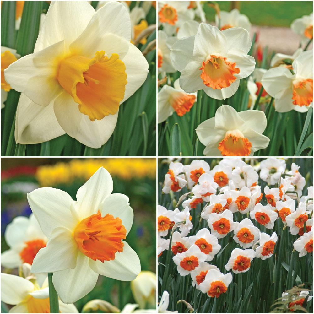 Bloomsz Pink Daffodil Collection Bulbs 25 Pack 09033 The Home Depot