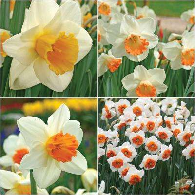 Pink Daffodil Collection Bulbs (25-Pack)