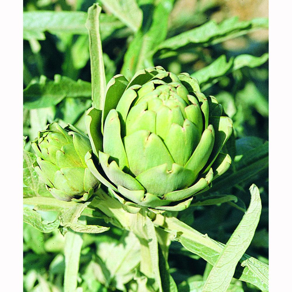 Bonnie Plants 4.5 in. 19.3 oz. Artichoke-