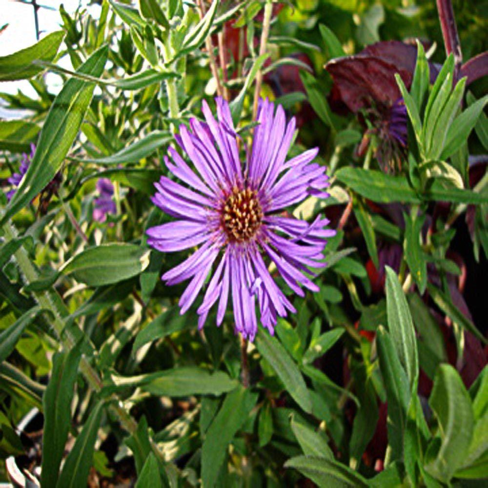 OnlinePlantCenter 1 gal. Purple Dome New England Aster Plant-DISCONTINUED