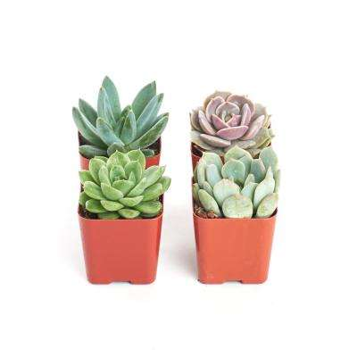2 in. Rosette Succulent (Collection of 4)