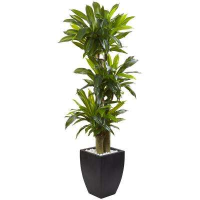Indoor Corn Stalk Dracaena with Black Wash Planter