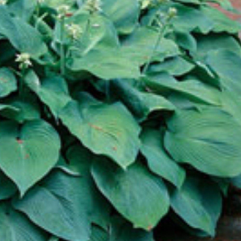 1.5 gal. Blue Angel Hosta Plant