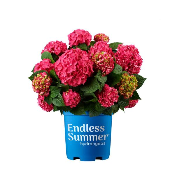 2 Gal. Summer Crush Hydrangea Plant with Raspberry Red or Neon Purple Blooms