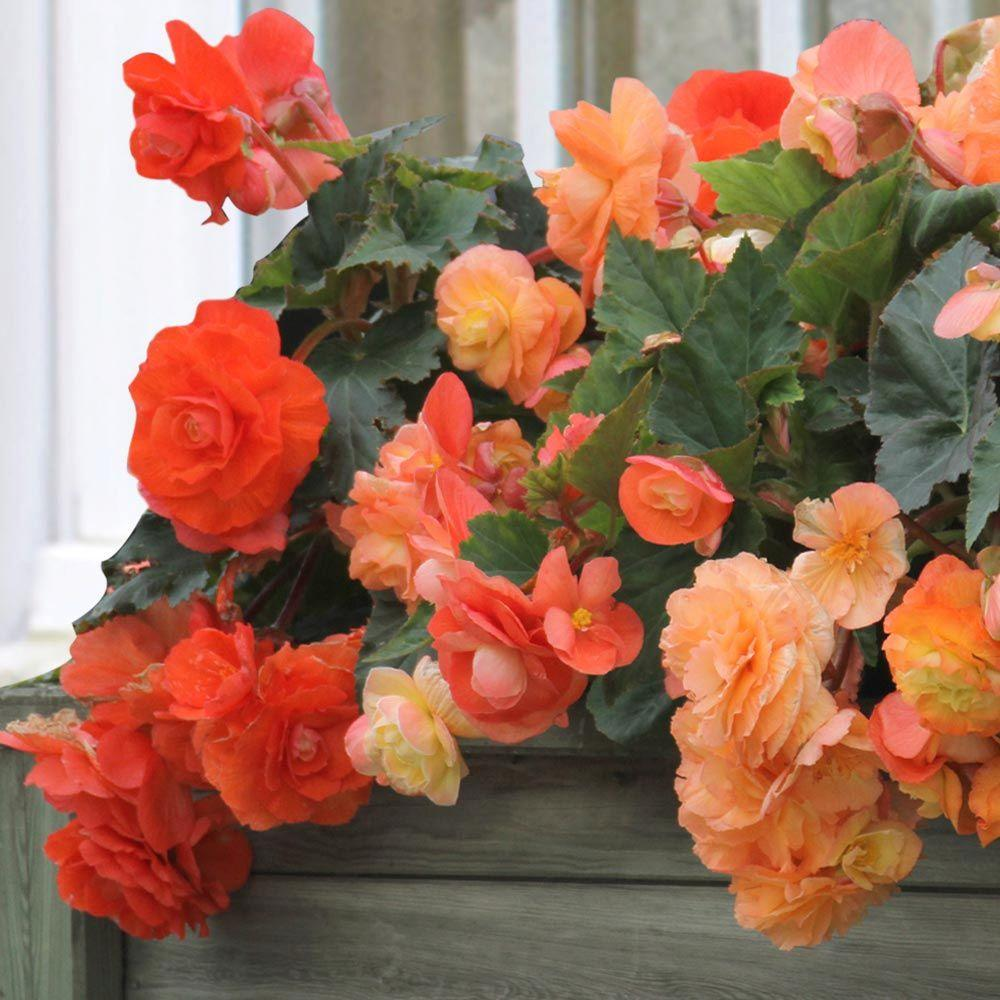 5 cm to 6 cm Roseform Orange Begonia Bulbs (3-Pack)
