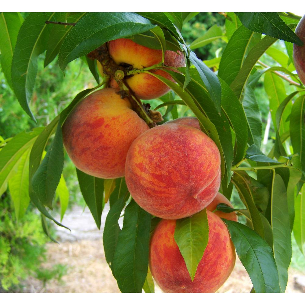 OnlineOrchards Online Orchards Curlfree Peach Tree Bare Root
