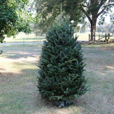 6 ft. to 6.5 ft. Freshly Cut Noble Fir Real Christmas Tree