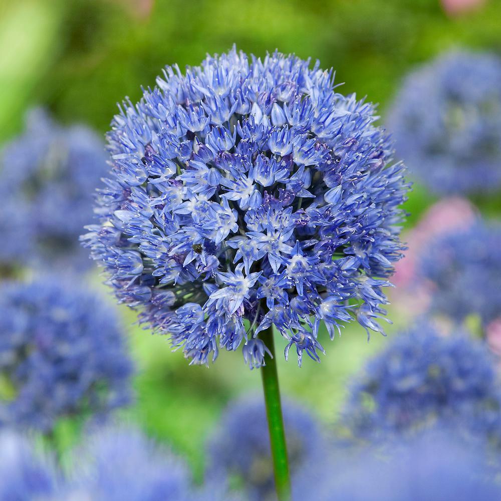 Allium Persian Blue Bulbs (15-Count/Pack)