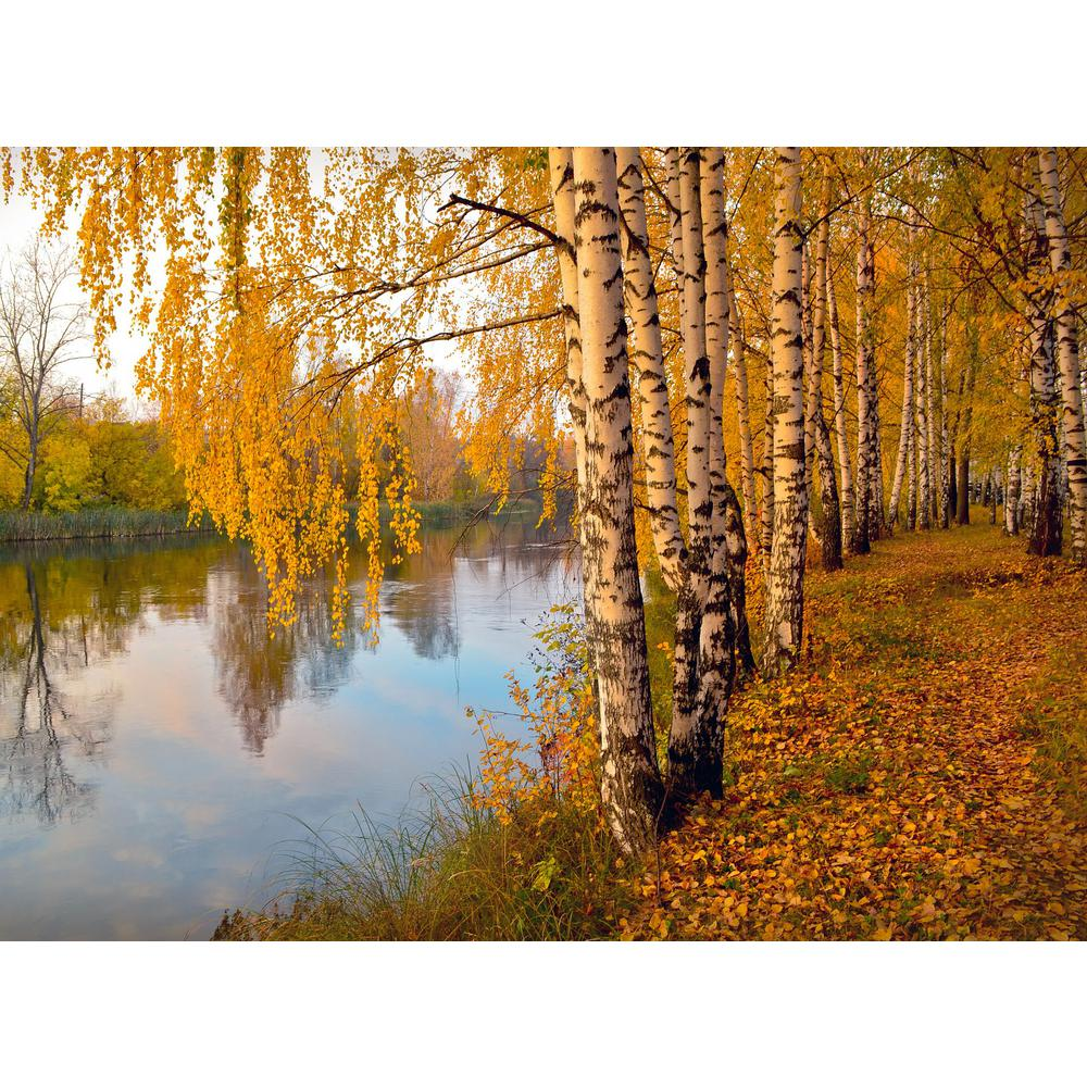 Online Orchards Weeping White Birch Tree Bare Root