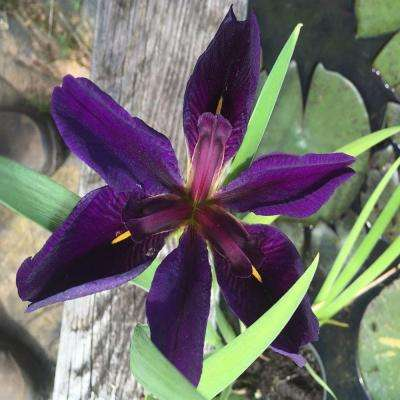 4 in. Black Gamecock Iris Potted Bog/Marginal Pond Plant