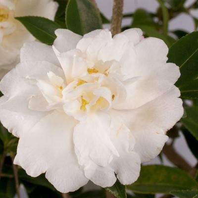 2 Gal. Diana Camellia(sasanqua) - Evergreen Shrub with White Semi-double Blooms, Live Plant