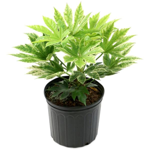 2 Gal. Spider Web Fatsia Plant with White Blooms in Black Grower's Pot