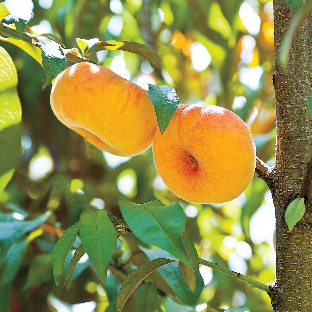 2 65 Qt Flat Wonderful Reachable Peach Prunus Dwarf Variety Live Fruiting Tree