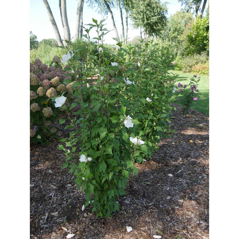 1 Gal. White Pillar Rose of Sharon (Hibiscus) Live Shrub with White Flowers
