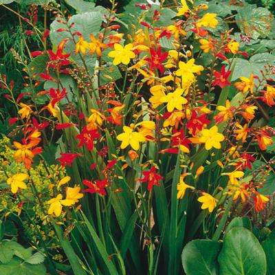 Crocosmia Mixed Bulbs (25-Pack)