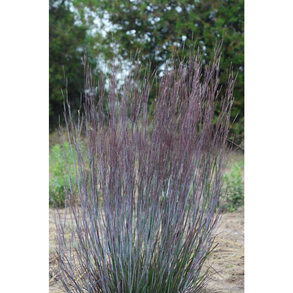 Proven winners prairie winds blue paradise little bluestem proven winners prairie winds blue paradise little bluestem schizachyrium live plant blue and workwithnaturefo