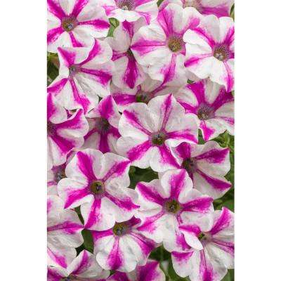 Supertunia Lovie Dovie (Petunia) Live Plant Pink and White Striped Flowers 4.25 in. Grande (4-Pack)
