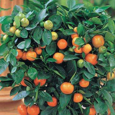 3 in. Pot Calamondin Dwarf Orange Citrus Live Potted Tropical Plant White Flowers to Orange Fruit (1-Pack)