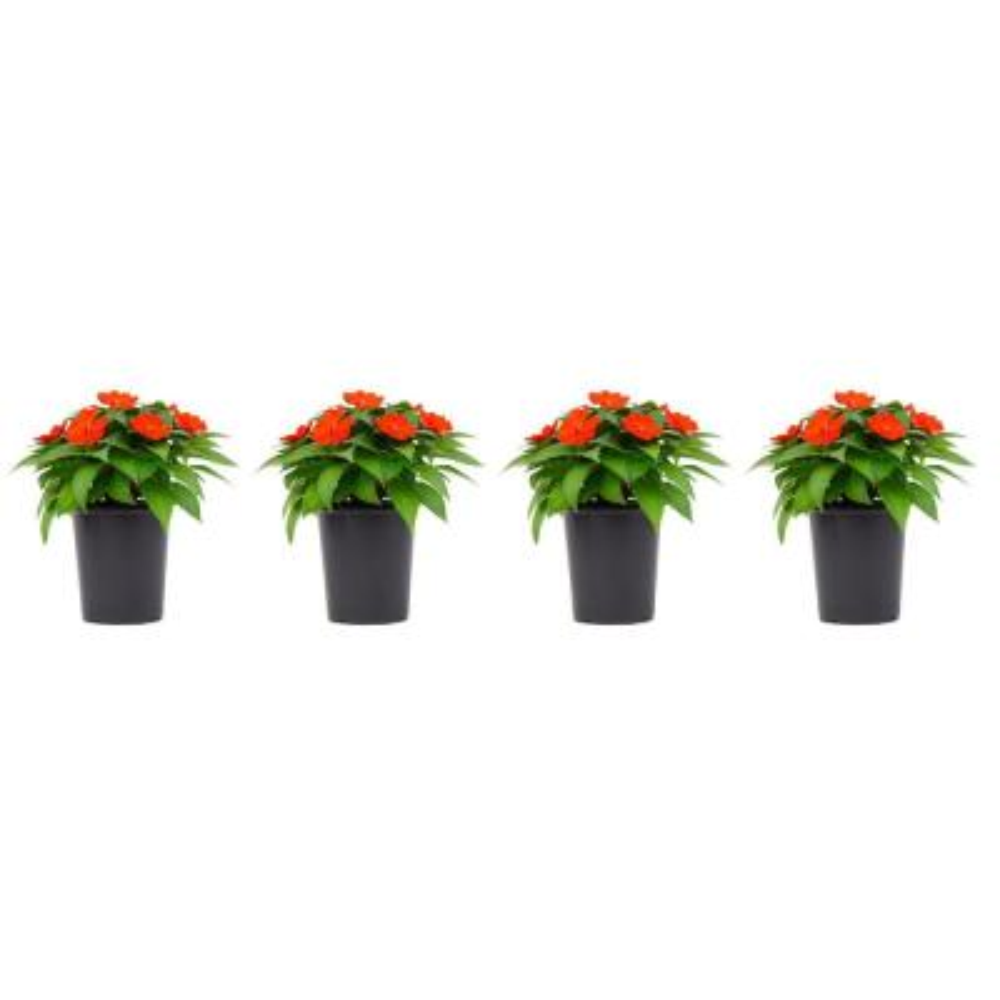 1 Qt. Sunpatien Impatien Plant Orange Flowers in 4.7 In. Grower's Pot (4-Plants)