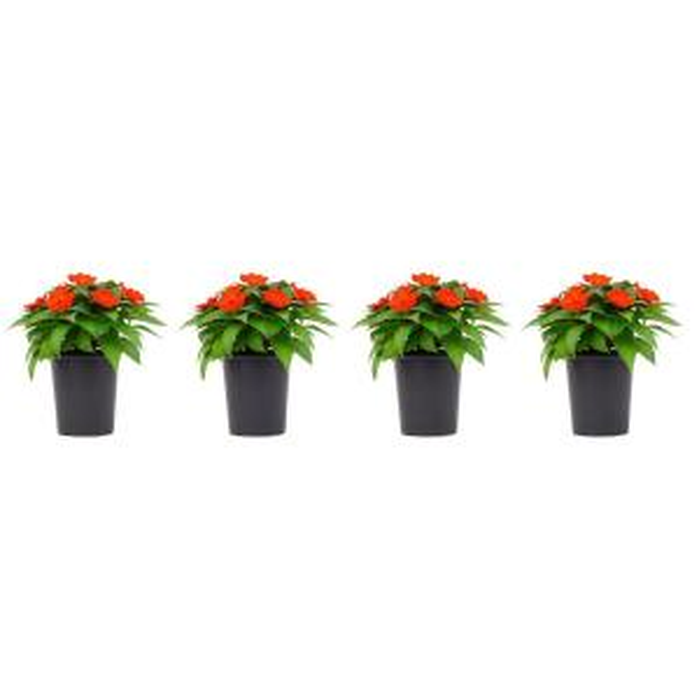 1 Qt. SunPatiens Orange Impatien Outdoor Annual Plant with Orange Flowers in 4.7 In. Grower's Pot (4-Plants)