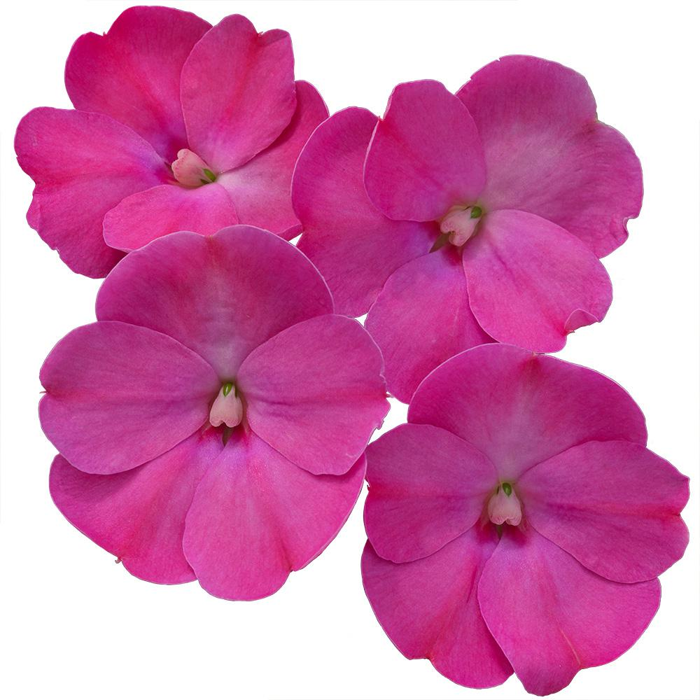 Costa Farms New Guinea Impatiens 1 Qt. Lilac Sunpatiens Flowers Blooming (8-Pack)