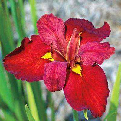 Ann Chowing Iris, Live Bareroot Plant, Red Flower (3-Pack)