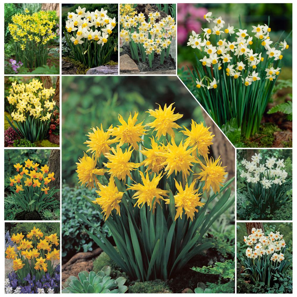 Bloomsz Narcissus (Daffodil) Bulb Collection (100-Pack)