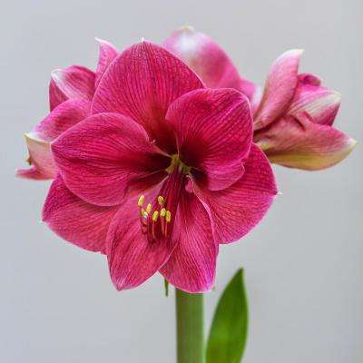 BlooMaker Pink-White Blooming Pink Rival Giant Amaryllis Bulb