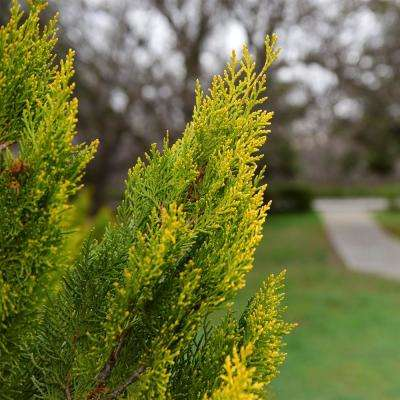 2.50 Qt. Forever Goldie Arborvitae (Thuja), Live Evergreen Plant, Bright Yellow Foliage in Full Sun (1-Pack)
