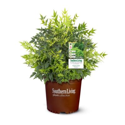 2.5 Qt. Lemon Lime Nandina Shrub with Lime Green Foliage