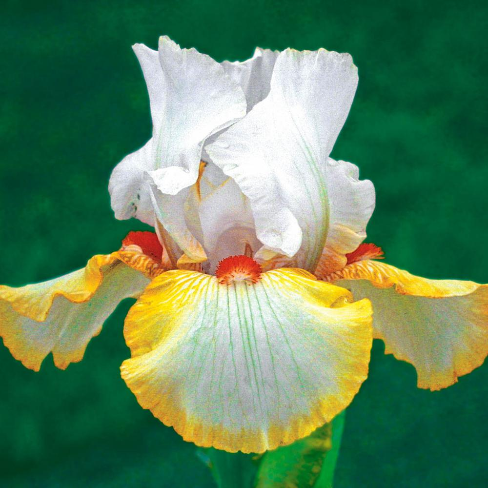 Brecks Halloween Halo Iris Live Bareroot Plant Yellow White And