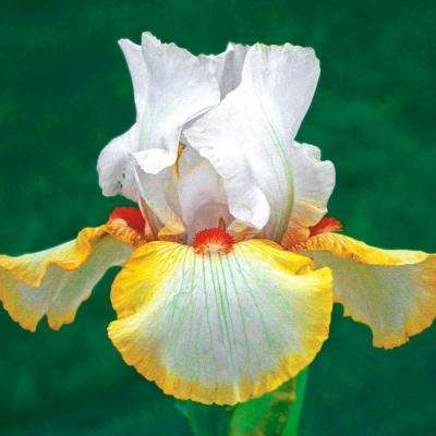 Halloween Halo Iris Live Bareroot Plant Yellow White and Orange Flowering Perennial (1-Pack)