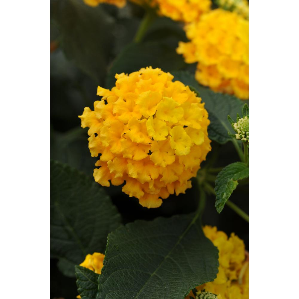Costa Farms 1 Qt Yellow Lantana Plant In Grower Pot 8 Pack