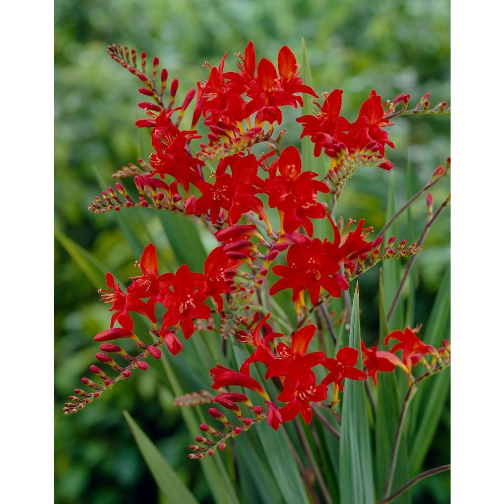 Bloomsz Crocosmia Lucifer Flower Bulbs 10 Pack 08463 The Home Depot