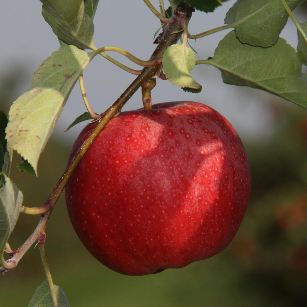 Gala Apple Tree Appgalbp The Home Depot