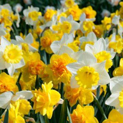 Yellow Orange And White Daffodils Sunny Side Up Blend Bulbs 100 Pack