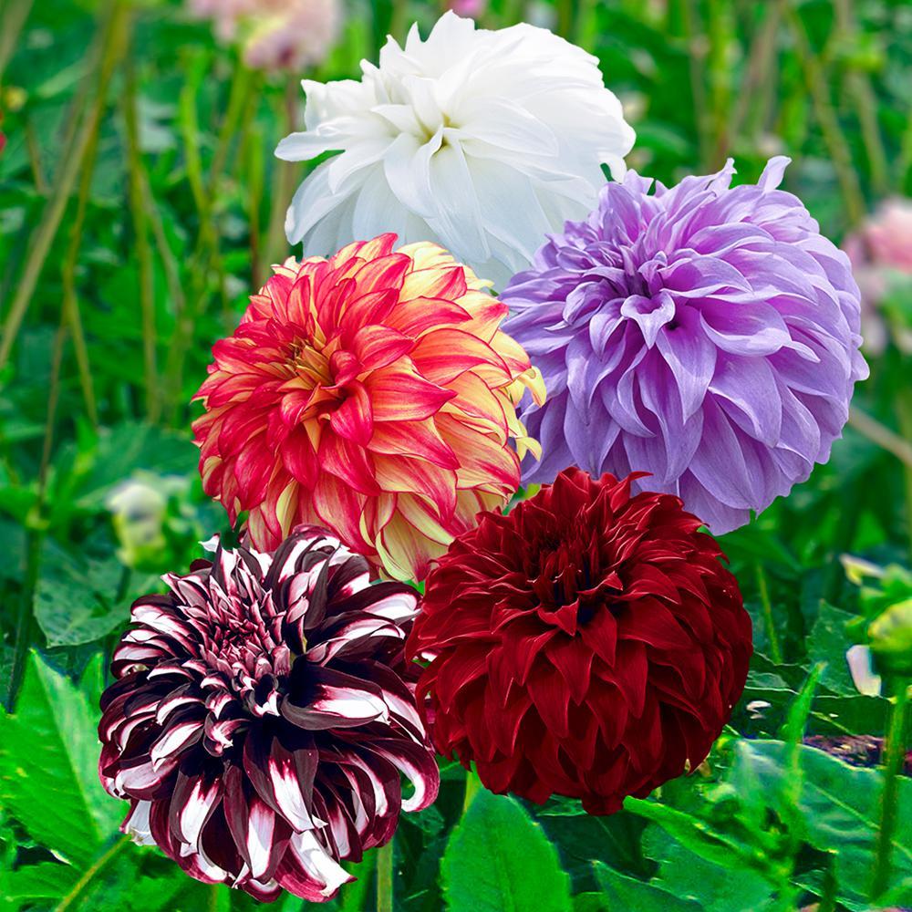Giant Ball Dahlia Mixed Bulbs (5-Pack)