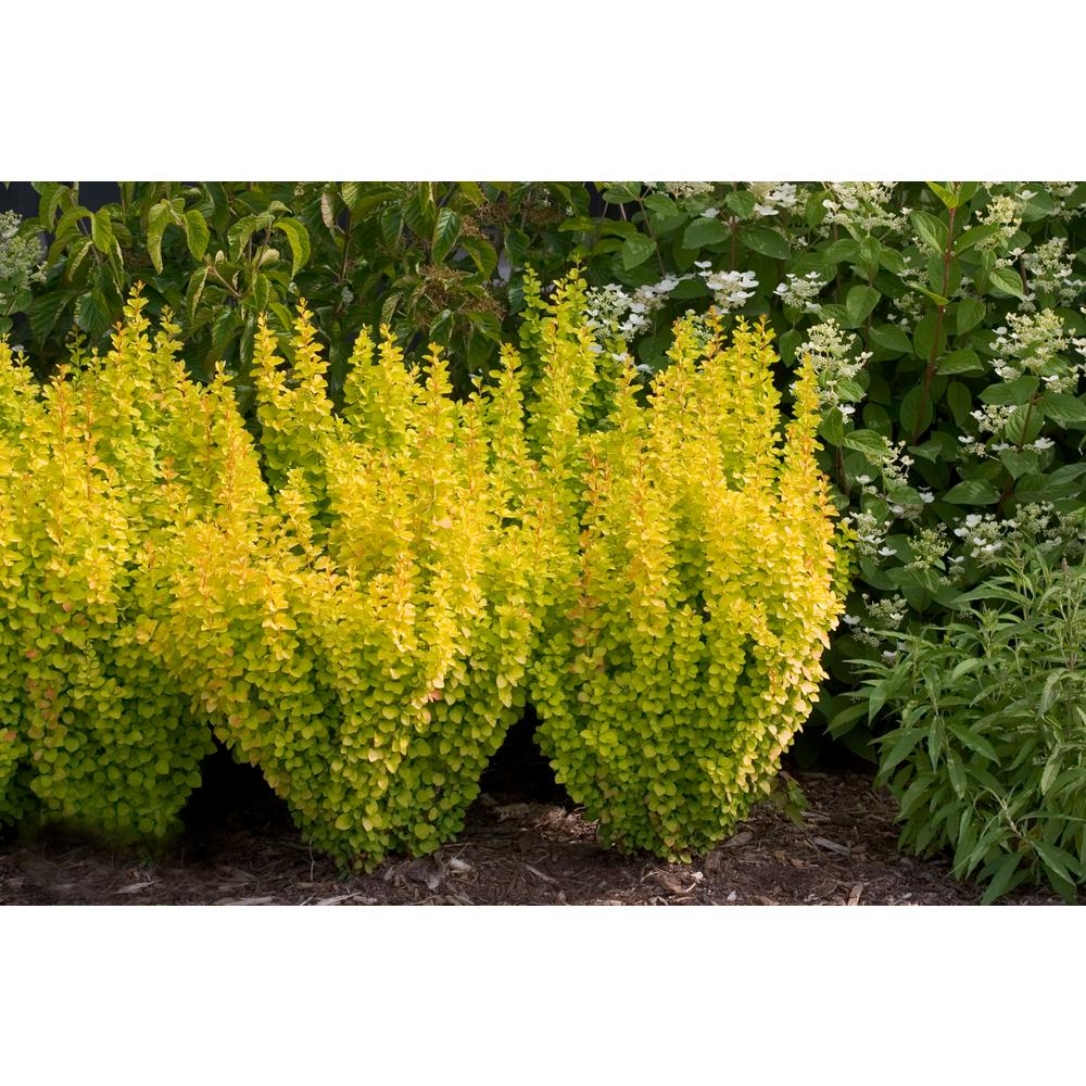 4.5 in. qt. Sunjoy Gold Pillar Barberry (Berberis) Live Shrub, Bright