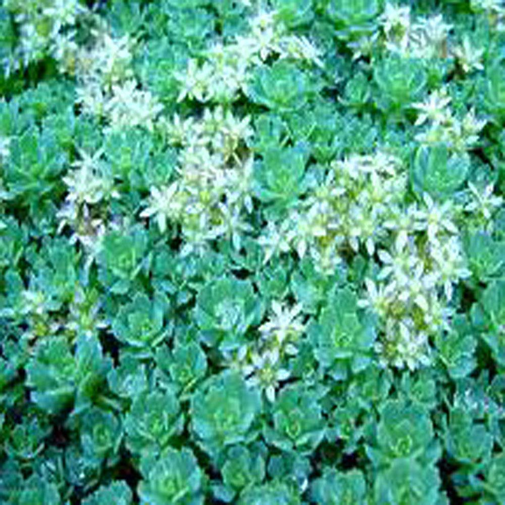 3.5 in. White Diamond Creeping Stonecrop Plant