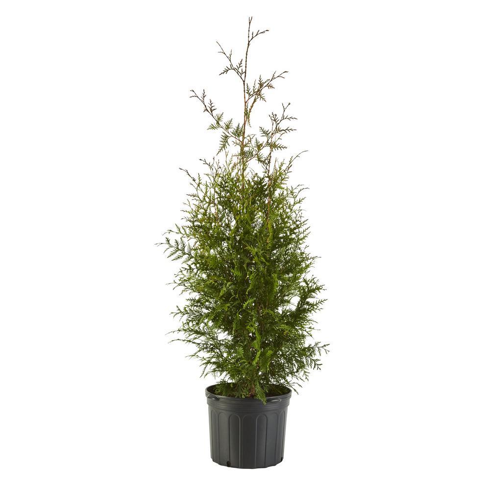2.25 Gal. Arborvitae Green Giant Shrub with Green Foliage