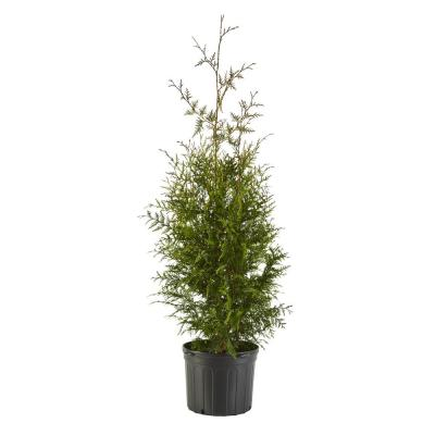 7 Gal. Arborvitae Green Giant Shrub with Green Foliage