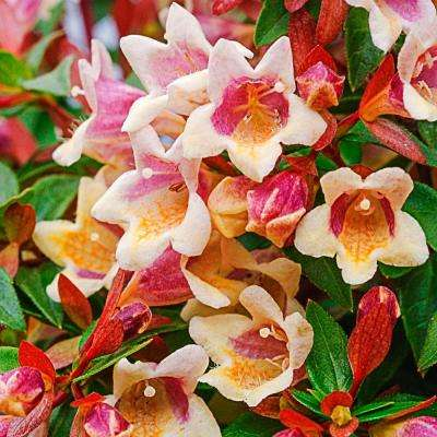 Abelia Shrubs Trees Bushes The Home Depot