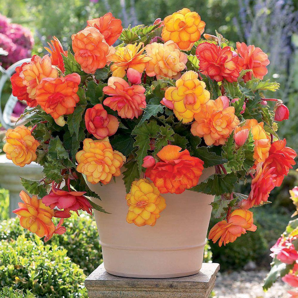 5 cm to 6 cm Golden Balcony Begonia Bulbs (3-Pack)