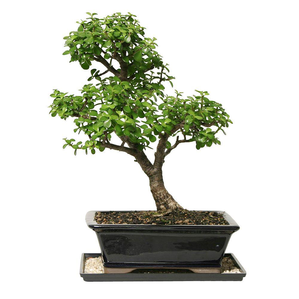 Brussel S Bonsai Dwarf Jade Bonsai Dt 6027dj The Home Depot