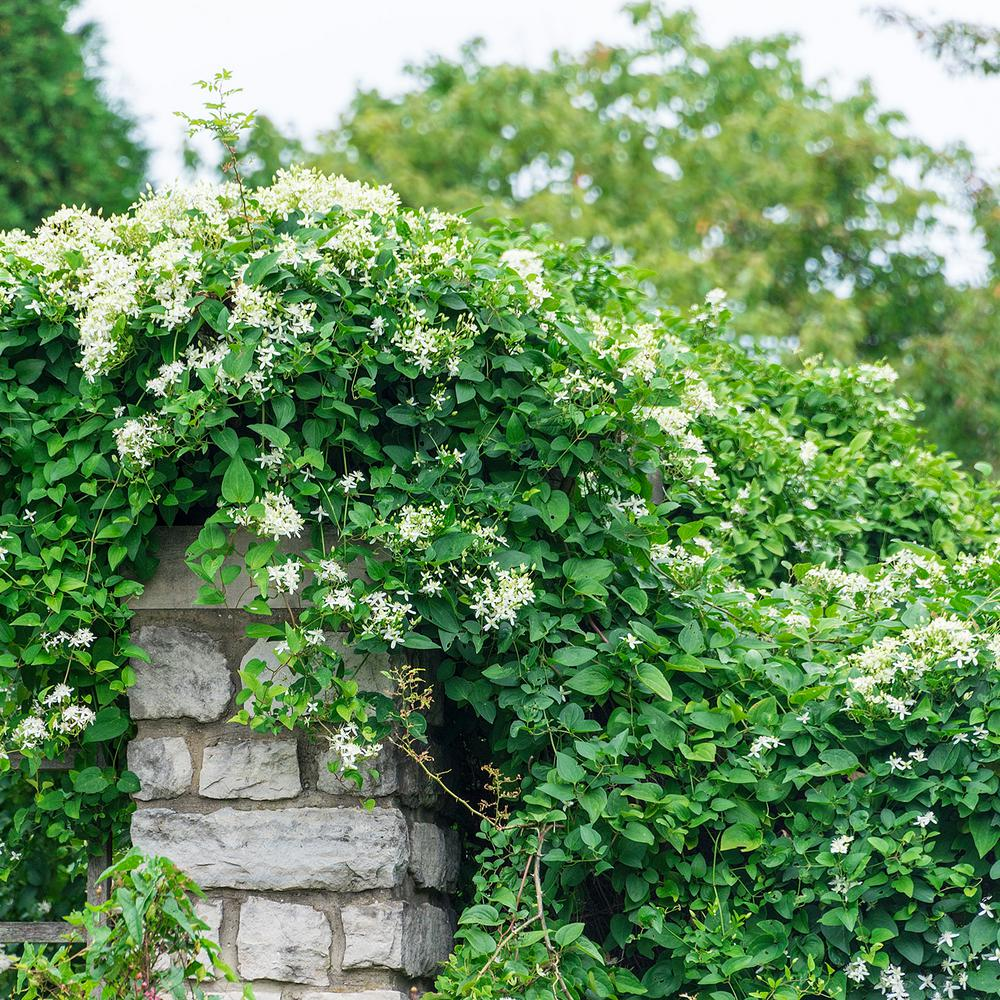 Spring Hill Nurseries 2 In Pot Sweet Autumn Clematis Live