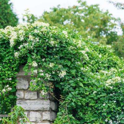 2 in. Pot Sweet Autumn Clematis Live Perennial Plant White Flowering Vine