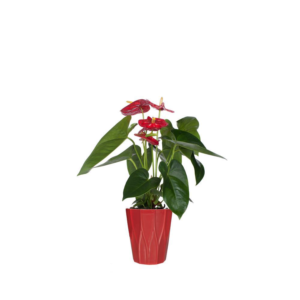 Just Add Ice Red  5 in. Anthurium Plant in Ceramic Pot