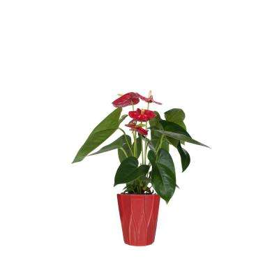 Red  5 in. Anthurium Plant in Ceramic Pot